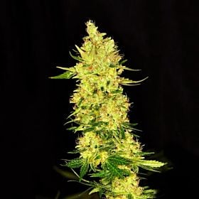 Dready Seeds - NorthernCheese Fem