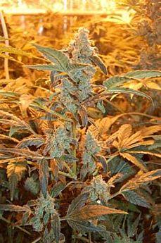 Dready Seeds Auto Jack - Auto Flowering Feminised Seeds