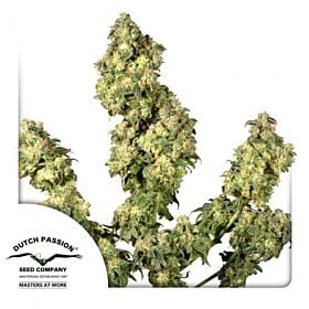 Dutch Passion Ultra Skunk Feminised Seeds