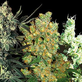 Feminized Seeds Indoor Mix Feminized Seeds