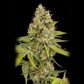 Feminized Seeds OG Kush Feminized Seeds
