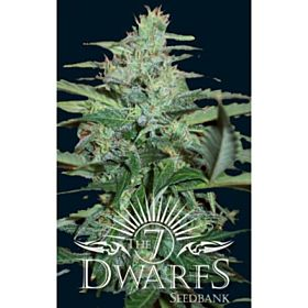 The 7 Dwarfs Seedbank Colossus Auto-flowering Feminised Plant