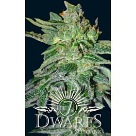 The 7 Dwarfs Seedbank Gigantes Auto-flowering Feminised