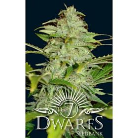 The 7 Dwarfs Seedbank Titan Auto-flowering Feminized
