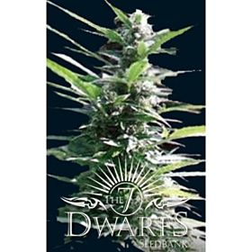 The 7 Dwarfs Seedbank Hercules Auto-Flowering Feminised Plant