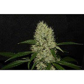 Alpine Seeds OG Kush Mix