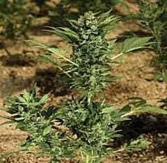 Paradise Seeds Automaria Autoflowering Feminised Seeds