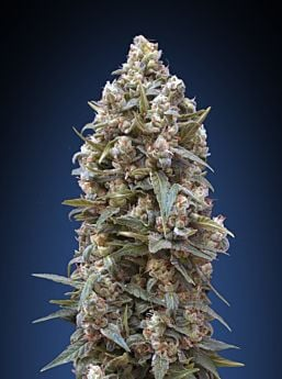 00 Seeds 00 Kush Feminized Plant