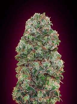 00 Seeds Bubble Gum Feminized Plant