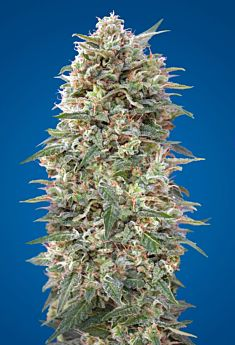 00 Seeds California Kush