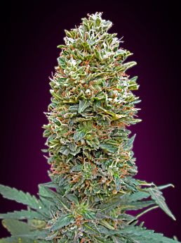 00 Seeds Auto Bubble Gum Feminized Plant