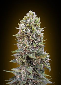 00 Seeds Auto Cheese Berry Feminized Plant Hashchis