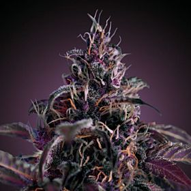 Freedom Seeds Midnight Express