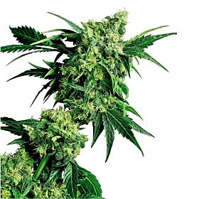 G13 Labs Hash Plant Feminized Seeds