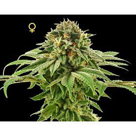 DNA Genetics Seedbank Grape LA Female Cannabis Seeds