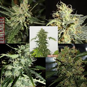 Green Label Mix Pack #1 Feminized Seeds