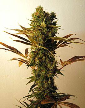 Resin-seeds-hammer-shark-plant