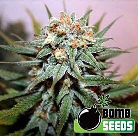 Bomb Seeds Hash Bomb Feminized