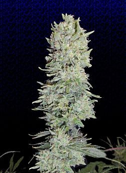Big Buddha Hindu Cream Fem