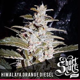 Short Stuff Himalayan Orange Diesel