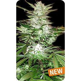 Dispensario Seeds Island Goat Cheese Fem