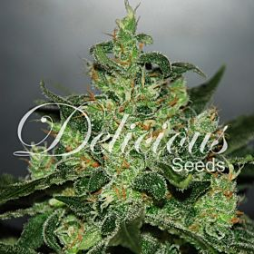 Delicious Seeds - Critical Jack Herer Auto