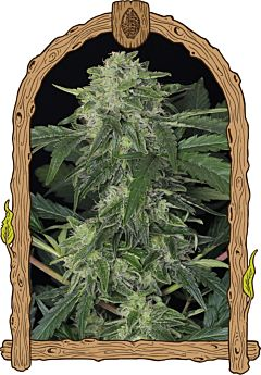 exotic seed jungle fever auto