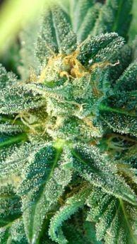 Kannabia Kritic 70 Feminised Autoflowering Seeds