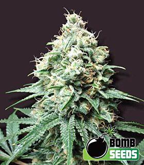 Bomb Seeds Kush Bomb Feminized