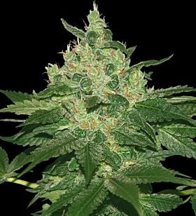 World of Seeds - Afghan Kush Regular Seeds