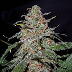 DNA Genetics Seedbank Lemon Skunk Feminized