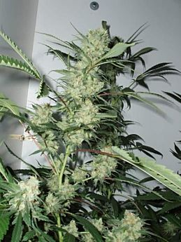 CannaBioGen Leshaze Regular Seeds