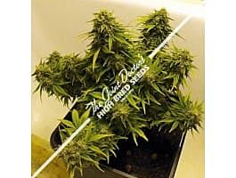 Joint Doctor - Lowryder Seeds Lowryder Mix Autoflowering Feminised Seeds