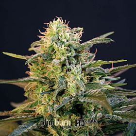 BlimBurn Seeds Mamba Negra Feminised Seeds