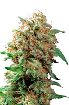 Dutch Passion Mazar Feminised Seeds