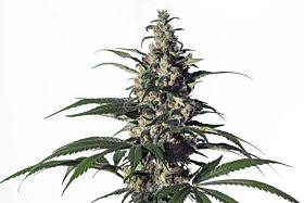 Medical Marijuana Genetics Green Doctor (GD-1)