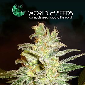 world of seeds Northern Light x Big Bud