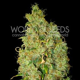 world of seeds Northern Light x Skunk
