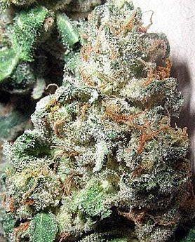 British Columbia Seed Company - Northern Lights #5