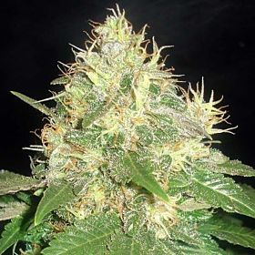 BlimBurn Seeds Northern Light Automatic Feminised Seeds