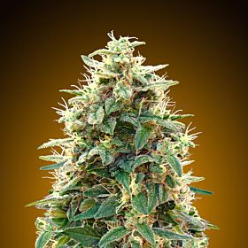 00 Seeds Auto Northern Lights Feminized Seeds