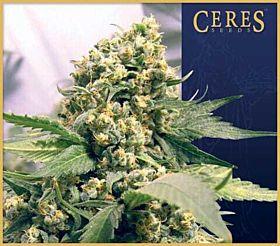 Ceres Seeds Northern Lights x Skunk #1 Feminised Seeds