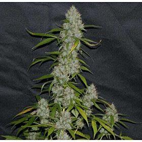 Alpine Seeds OG Kush - Lemon Larry Regular