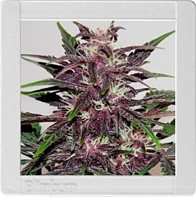 Blimburn Grizzly Purple Kush