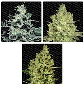 Paradise Seeds Auto Collection pack #2 Feminized Seeds