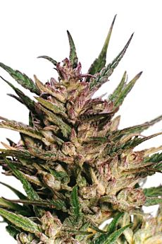 Dutch Passion Passion #1 Feminised Seeds