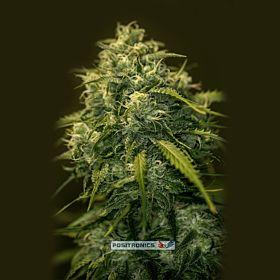 Positronics Seeds CBD Jack Diesel Feminized Seeds