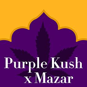 Purple Kush x Mazar