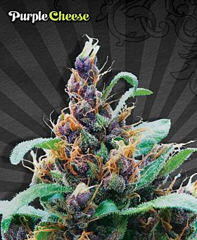 Auto Seeds - Purple Cheese Automatic Feminized