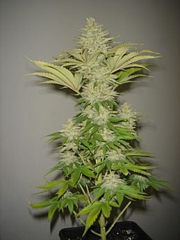 resinseeds-Bubblicious-plant